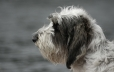 Petit Basset Griffon Vendeen, 2 years, Gray