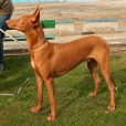 Pharaoh Hound, 1 year, brown