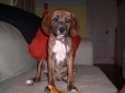 Plott Hound, 4 months, mixed