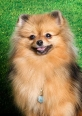 Pomeranian, 1 year, Brown