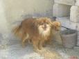 Pomeranian, 1yer, yellow&red