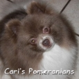Pomeranian, 2 years, Chocolate Dilute Parti