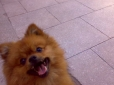 Pomeranian, 2months, orange