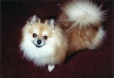 Pomeranian, 2yrs, brown