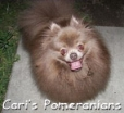 Pomeranian, 3 years, Chocolate Dilute (Lavender)