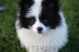 Pomeranian, 3months, Parti