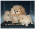 Pomeranian, 5, Cream