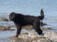 Portuguese Water Dog, 1 year, Black