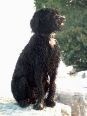 Portuguese Water Dog, 2 years, Black