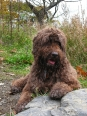 Portuguese Water Dog, 2 years, Brown