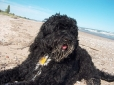 Portuguese Water Dog, 4 years, Black