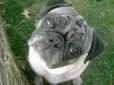 Pug, 7, Fawn
