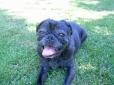 Pug, 8, Black