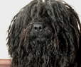 Puli, 2 years, black