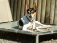 Rat Terrier, 1 year, Tri Color