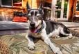 Rat Terrier, 1 year, gray