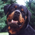 Roman Rottweiler, 2 years, black