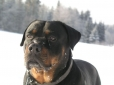 Roman Rottweiler, 4 years, black