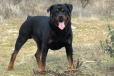 Rottweiler, 1.5 years, Black