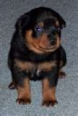 Rottweiler, 2.5months, black