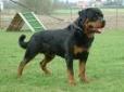 Rottweiler, 5, blue