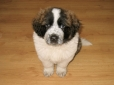 Saint Bernard, 2 months, Brown