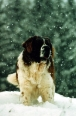 Saint Bernard, 3 years, Brown