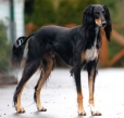 Saluki, 1 year, Black