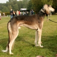 Saluki, 2 years, brown