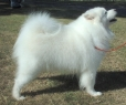 Samoyed, 1 year, White