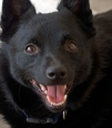 Schipperke, 1.5 years, Black