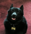 Schipperke, 4 years, Black