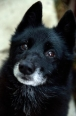 Schipperke, 8 years, Black