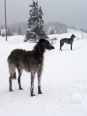 Scottish Deerhound, 1 year, Gray