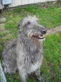 Scottish Deerhound, 2 years, Gray