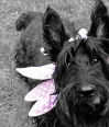 Scottish Terrier, 1 year, Black