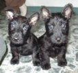 Scottish Terrier, 2 month, Black