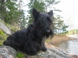 Scottish Terrier, 9 months, Black
