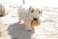 Sealyham Terrier, 1 year, White
