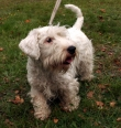 Sealyham Terrier, 8 months, White