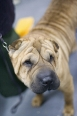 Shar Pei, 1 year, Brown