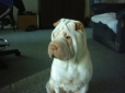 Shar Pei, 18mths, Cream