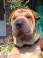 Shar Pei, 2, Wheat