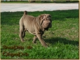 Shar Pei, 3 years, Brown
