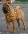 Shar Pei, 6mnd, red