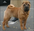Shar Pei, 7 mnd, red