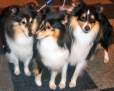Shetland Sheepdog, 1 year, Tri Color