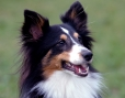 Shetland Sheepdog, 1.5 years, tri-colored