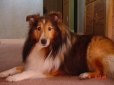 Shetland Sheepdog, 12, brown,white,black