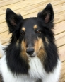 Shetland Sheepdog, 2  years, Tri Color
